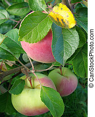 ripening apples on the branches...