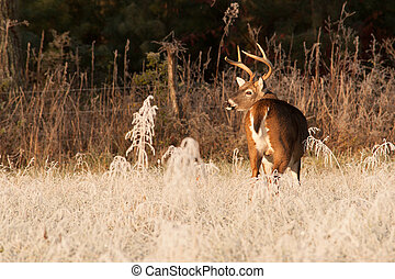 Cades Buck - Cades Cove in the Great Smoky Mountains...