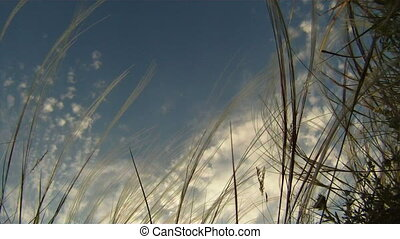 Feather grass against blue and cloudy sky