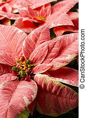 Poinsettias - Bright poinsettias for the Christmas/holiday...