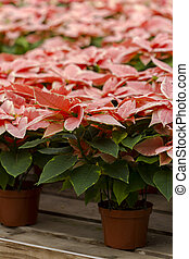 Poinsettias - Bright poinsettias for the Christmasholiday...