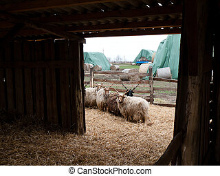 Goat farm - Stall on a farm with goats in the paddock