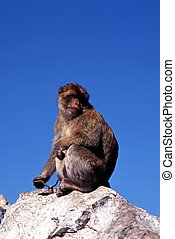 Barbary ape, Gibraltar - Barbary ape sitting on rock with...