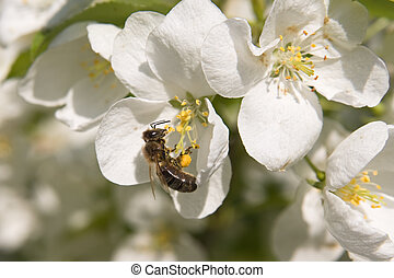Bee and flowers - Bee on a blossoming branch of an...
