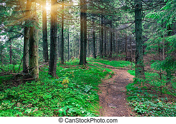 forest - Summer fir forest in the early morning