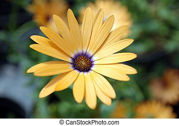 Osteospermum hybrid yellow symphony