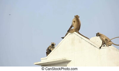 Langurs. - Langurs observing from the rooftop.