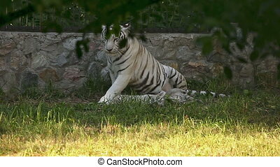 Taking care. - White tigress washing up a little cub at the...