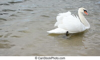 swan bird lake water - White swan bird swim in ripple...