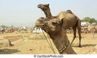 Camel Fair - Two camels at Pushkar camel fair, Rajasthan,...