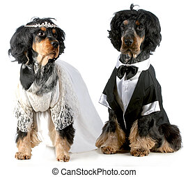 dog bride and groom - english cocker spaniels dressed up in...