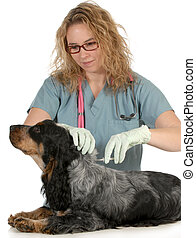 veterinary care - english cocker spaniel being microchipped...