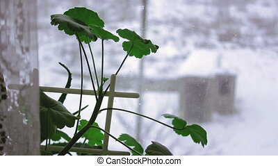 geranium on a winter window