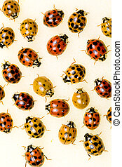 Multi-colored Asian Lady Beetles - showing the varying...
