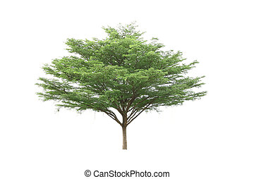 Ivory coast almond tree on white background. (Terminalia...