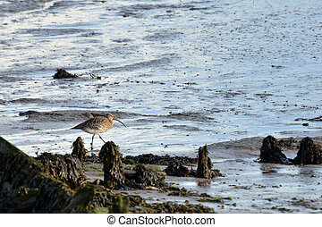 Curlew feeding in mud