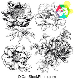 Peonies - Engraved hand drawn illustrations of ornate...