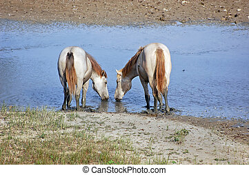White horses - Camargue horses drinking water of a small...