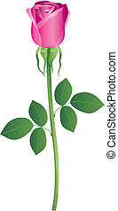 Rosa - Vector illustration It is created in the CorelDraw...