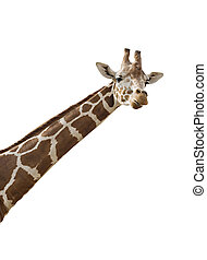 Giraffe - An isolated photo of a giraffes neck and head