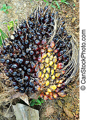 Palm oil fruit - Photography of palm oil