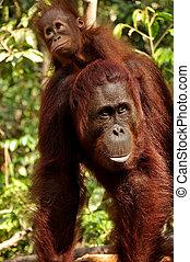 Orangutans - Baby orangutan with her mother.