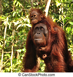 Orangutans - Baby orangutan with her mother