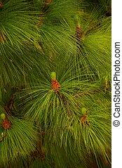 Close-up of a fir tree