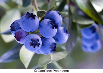 Heathberries/ blueberries ripening on the bush