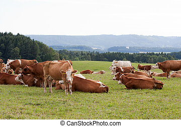 Dairy cows in pasture