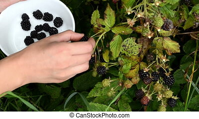 femaleblackberry berry - Female hand pick gather collect...