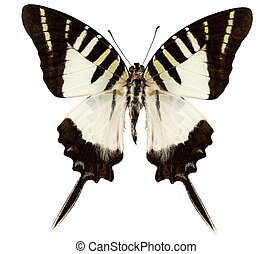 Butterfly species graphium decolor atratus in high...