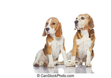 Two beagle dogs isolated on white background