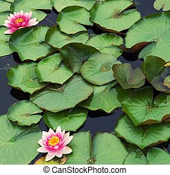 Beautiful pink water lilly