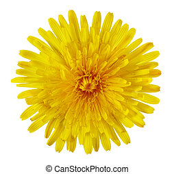 Dandelion Flower - Single Taraxacum officinale dandelion...