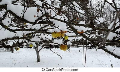 apple fruit tree snow