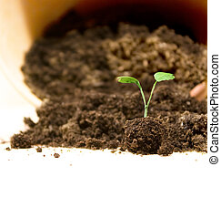 Seedling transplant - Broccoli seedling transplant