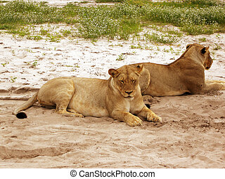 Wild lioness lying in african savannah,Chobe national...