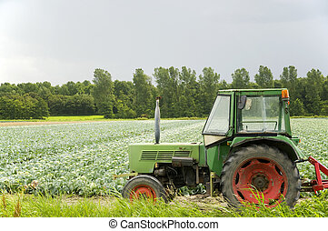 Agriculture landscape - agriculture landscape with cabbages...
