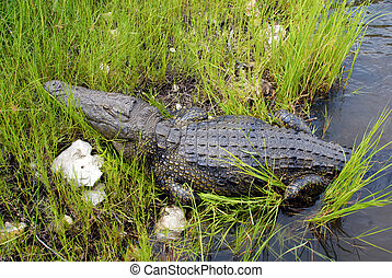 wild crocodile in Zambezi river(Zimbabwe)