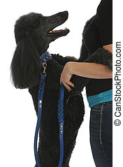 dog jumping on woman - black standard poodle on leash and...