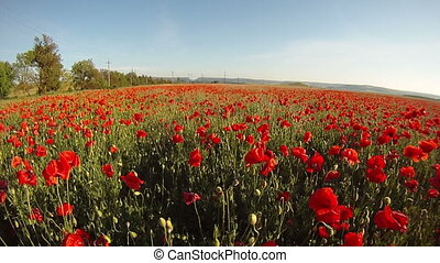 Blossoming poppies - Field of blossoming poppies