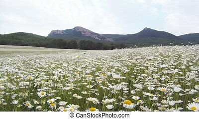 Chamomile meadow - Beautiful chamomile meadow located near...