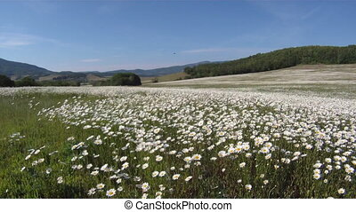 Field of daisies - Field of blooming daisies on sunny day