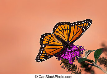 Viceroy butterfly Limenitis archippus feeding on butterfly...