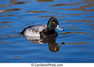 Lesser Scaup duck - Male Lesser Scaup (Aythya affinis) duck...