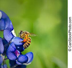 Bee on Texas bluebonnet flower