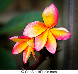 Tricolour Frangipani - A new tricolour frangipani flower in...