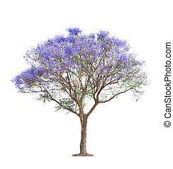 beautiful blooming Jacaranda tree isolated on white...