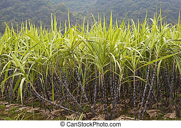 Sugar Cane - A field of sugar cane growing in Guilin county,...